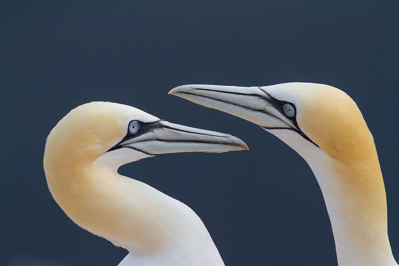 Love you to the moon and back ii (gannets) van Kris Hermans