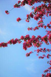 Japanische Kirschblüte von Tina Hartung
