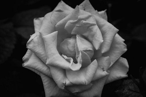 Roos zwart wit