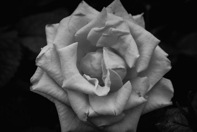 Roos zwart wit van Koop je Canvas