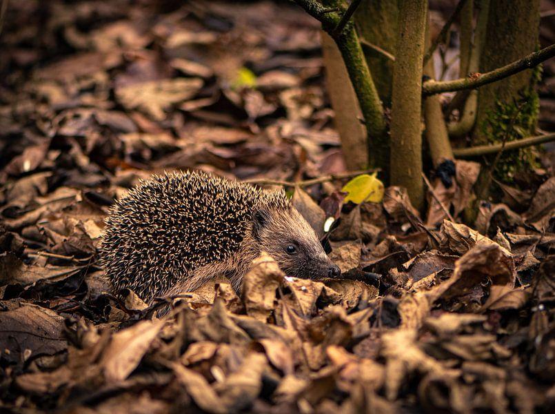 Hedgehog sur Ingrid Aanen
