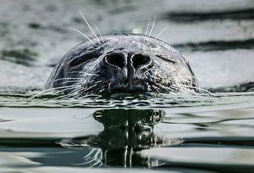 Zwemmende zeehond von Jo Pixel