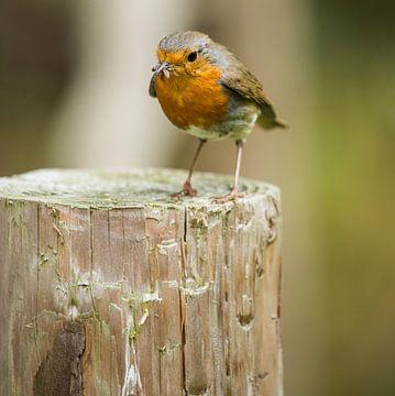Robin I von Fotografie Jeronimo