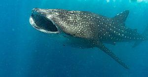 Walhai im Indischen Ozean