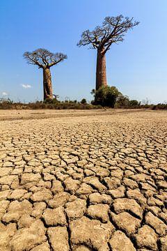 Gebarsten grond Baobabs van Dennis van de Water