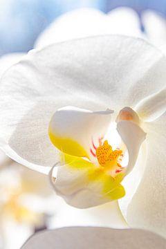 Orchidee van Nynke Altenburg