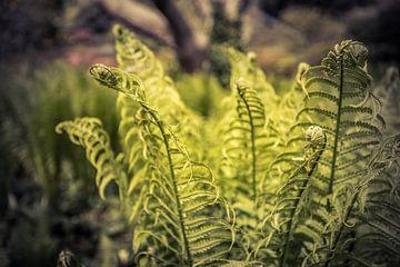 Grüner Farn in der Sonne von Franziska Pfeiffer