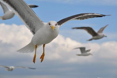 Zeemeeuwen boven Texel van