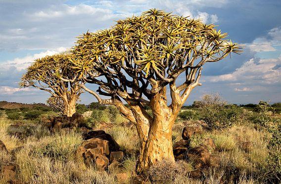 Kokerbomen in Namibië