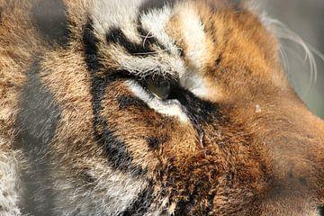 Siberische tijger van Natasja Tollenaar