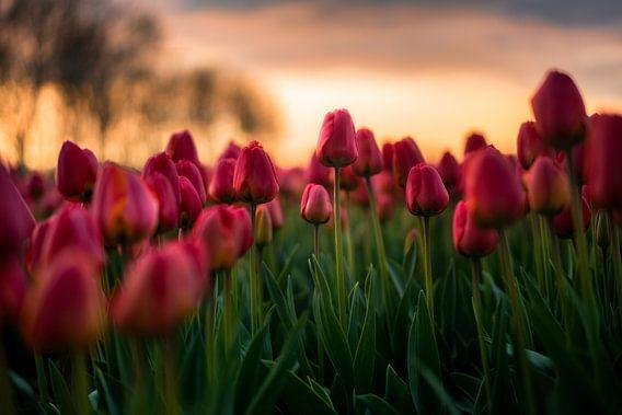 Bloeiende tulpen van Maarten Mensink