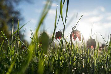 Wilde Kievitsbloem in een weiland in de vroege ochtendzon van Leoniek van der Vliet