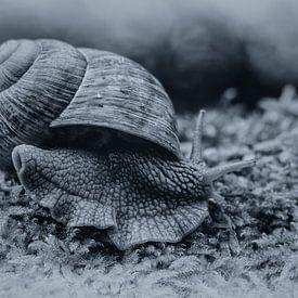 Weinbergschnecke (Helix pomatia) von Ursula Di Chito