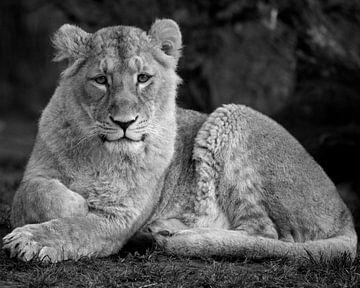 Das Löwenjunge liegt da von Patrick van Bakkum