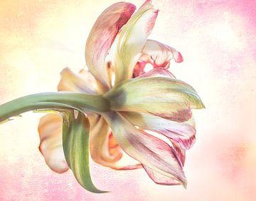 Tulpe rosa gelb von natascha verbij