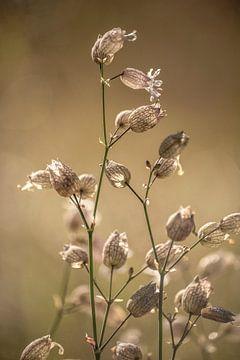 Blaassilene in de ochtend van Margreet Frowijn