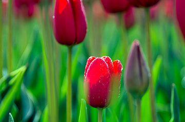 Tulpen von Willem Hoogsteen