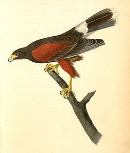 Harris's Buzzard., Audubon, John James, 1785-1851, Harris Buizerd