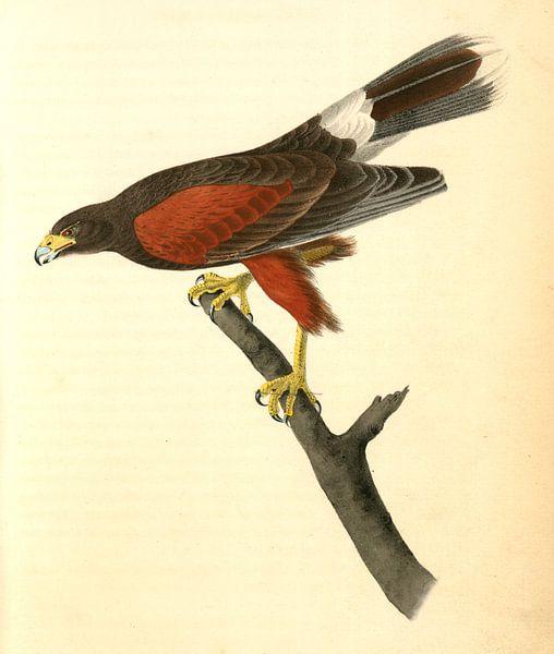 Harris's Buzzard., Audubon, John James, 1785-1851, Harris Buizerd van Liszt Collection