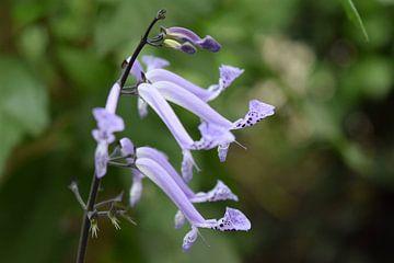 Hellblaue Blume von Nicolette Vermeulen