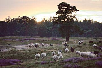Schafe spazieren über die Heide für die Nacht bei Sonnenuntergang. von Steven Marinus