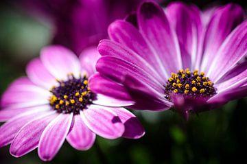 Pink daisy von Hans van Gurp