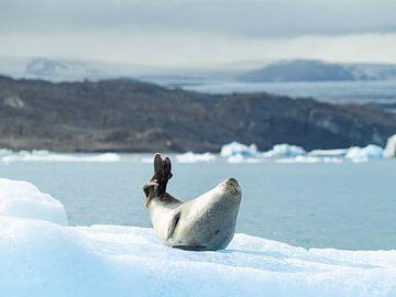 Zeehond chillend op een ijsberg in IJsland van Teun Janssen