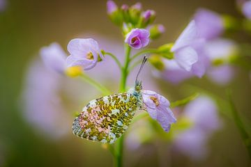 Schmetterling auf Blume von Adri Klaassen