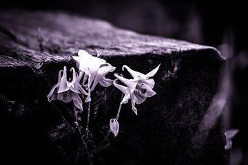 Weißaquilegia wächst auf einer Eisenbahnschwelle schwarz-weiß von Frank Ketelaar