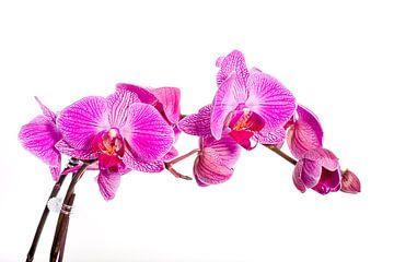 Orchidee von Angelika Stern