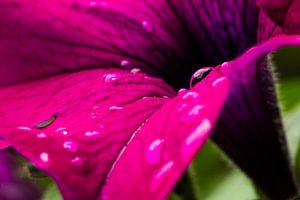Hollands glorie! regendruppels op een bloem