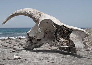 koeienschedel aan de kust van Fraukje Vonk