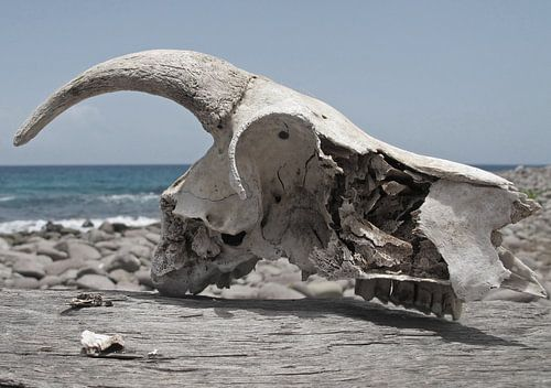 koeienschedel aan de kust