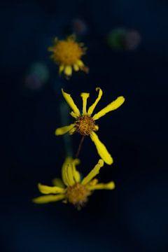 die drei gelben Blüten von Ribbi The Artist