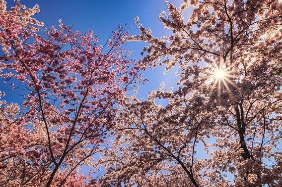Cherry trees  van Yvon van der Wijk