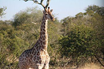 Afrikanische Giraffe von Stephanie Visser