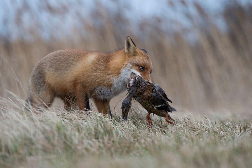 sucessful hunter... Red Fox *Vulpes vulpes* van wunderbare Erde