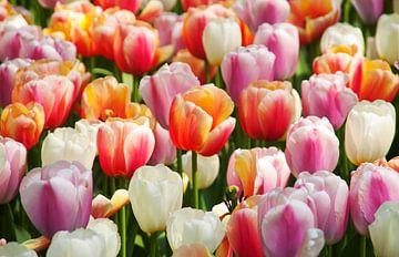 Schöne farbige Tulpen aus den Niederlanden von Hamperium Photography