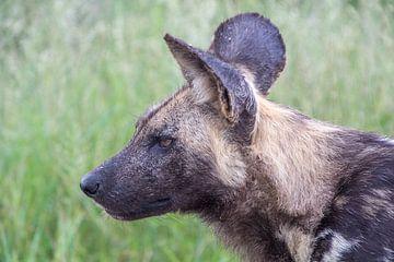 Wilde hond, kruger national park, zuid afrika van Marijke Arends-Meiring