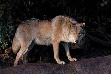 Een she-wolf vrouwtje prachtig verlicht door de ondergaande zon, een beest in profiel. van Michael Semenov
