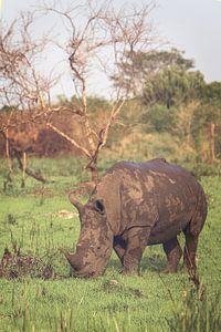 Witte neushoorn vredig aan het grazen van Geke Woudstra