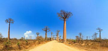 Baobab panorama von Dennis van de Water
