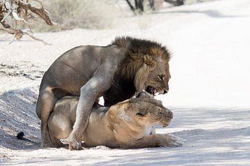 Parende leeuwen van Felix Sedney