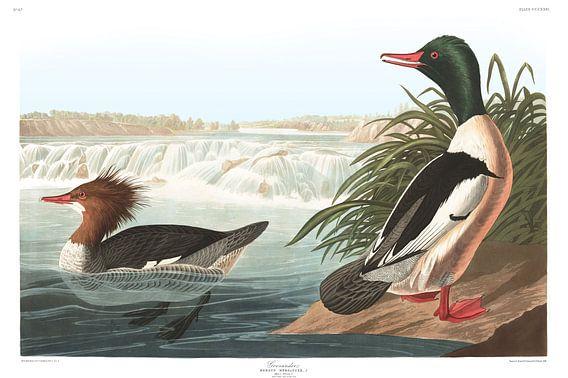 Grote Zaagbek van Birds of America