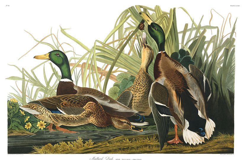Wilde Eend van Birds of America