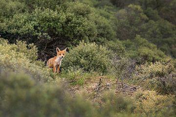 Neugieriger kleiner Fuchs von Anouschka Hendriks
