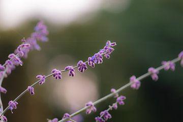 paarse herfstbloem van