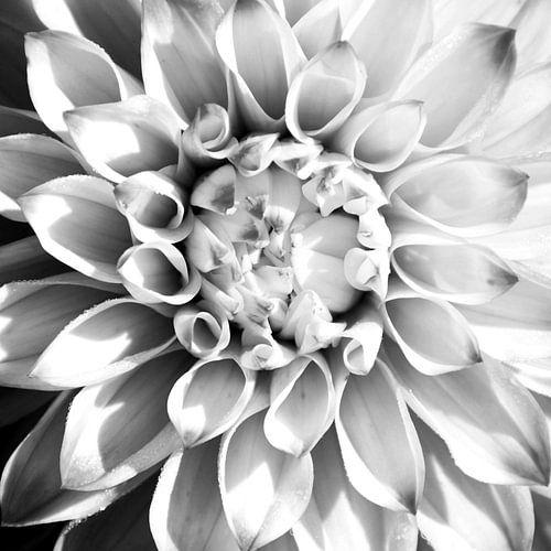 DAHLIA - BLACK AND WHITE