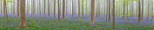 Hyacinten bos panorama