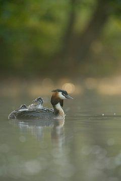 Haubentaucher ( Podiceps cristatus ) fährt den Nachwuchs auf dem Rücken spazieren, wildlife, Europa. von wunderbare Erde